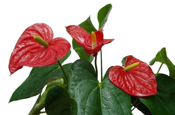 Arthurium, una bonita planta decorativa