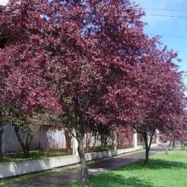ciruelo-de-flor-arbol-580x580