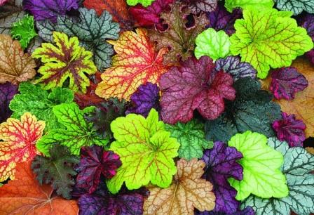 Heucheras: color en el jardín
