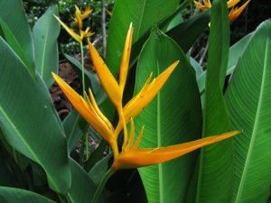 heliconia-golden-torch