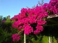 Buganvilla - plantas costeras