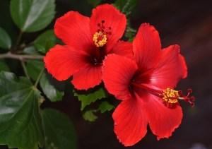 hibiscus-rosa-sinensis-detalle-flor