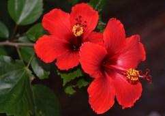 rosa de china - plantas costeras
