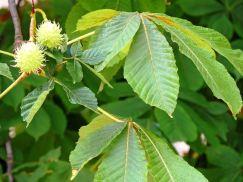 hojas de castaño de indias