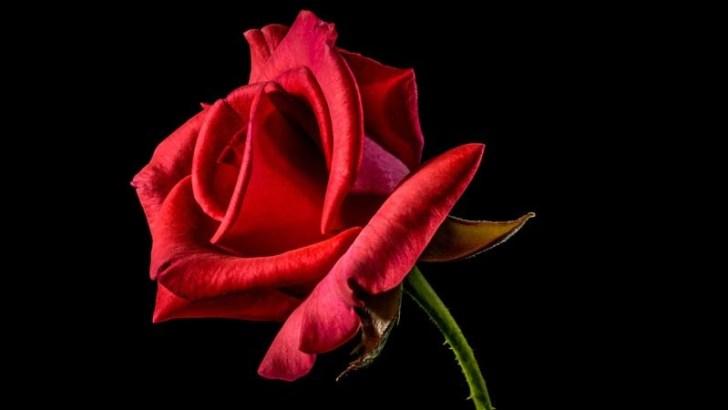 rosa-red-naomi