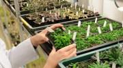 Fitocromos, termómetros vegetales