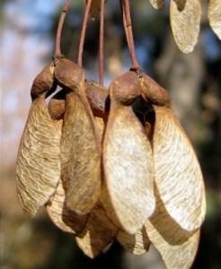 arce-de-montpellier-acer-monspessulanum-flores-frutos-semillas-flowers-fruits-seeds