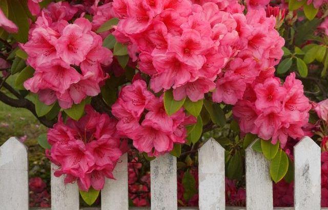 Rododendros, plantas de invierno