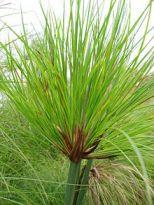 Cyperus_papyrus