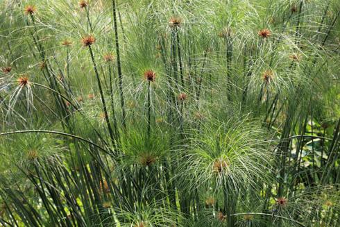 Conociendo una planta legendaria: el papiro