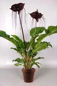 Planta murciélago