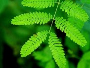 Mimosa púdica hojas