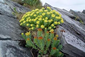 rhodiola-rosea-the-plant-