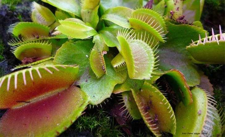 plantas-carnivoras-nqhcr
