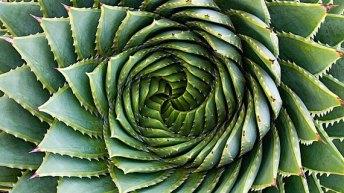 Aloe Pholyphylla o Aleo en espiral