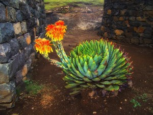 aloe-vera-espiralado-flor