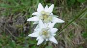 Características del edelweiss