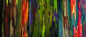 Corteza arcoíris