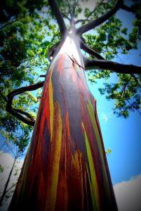 Eucaliptus Deglupta