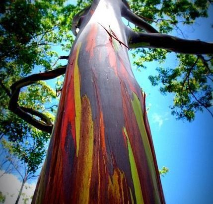 Eucaliptus arcoíris