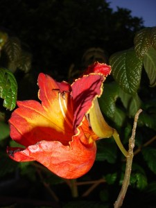 Tuli-flor