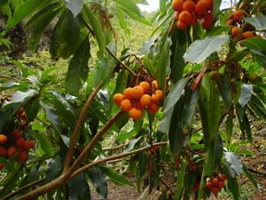 Madroño canario o Arbutus Canariensis