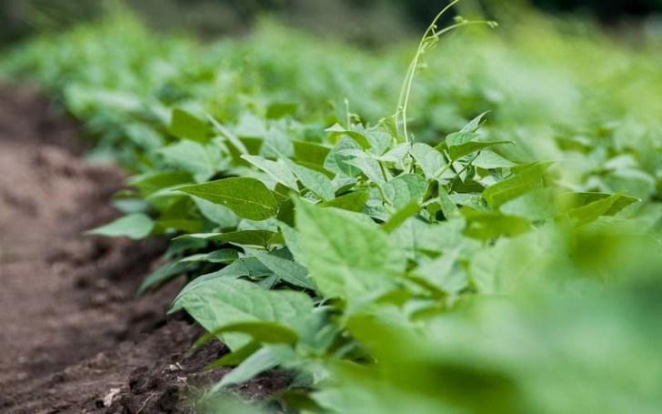 planta-del-guisante