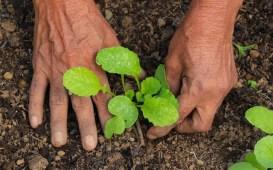 plantas calabacín