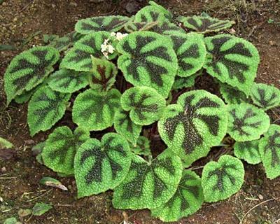 Begonia Masoniana o Cruz de Hierro