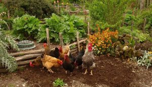 permaculture-chickens1_800