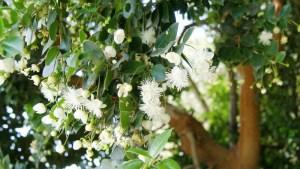 planta-de-arrayan