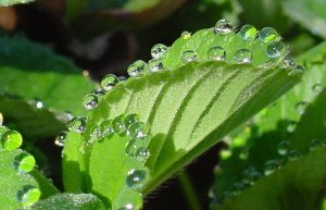 Las plantas sudan