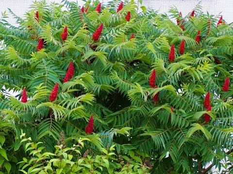 Zumaque, Rhus coriaria