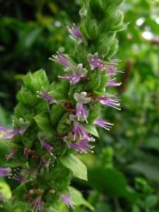Flor pachuli