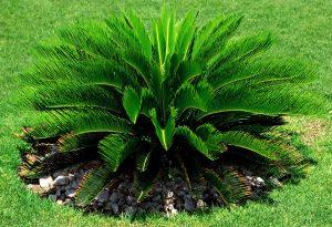 Palma del Sagú