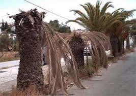 plaga de las palmeras