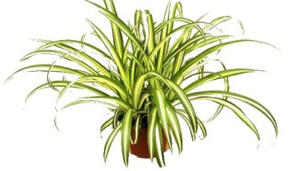 Chlorophytum comosum o cintas
