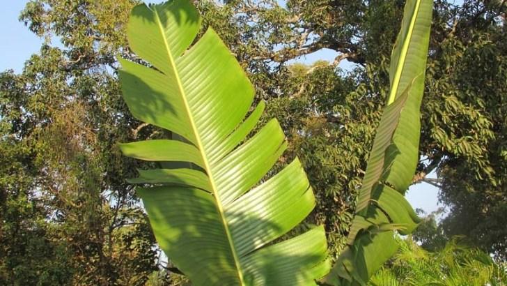 Tamaño de las hojas de plantas, resuelto su misterio