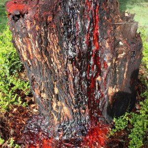 Árboles que sangran