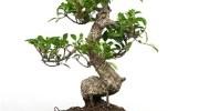 ¿Cómo regar los bonsáis?