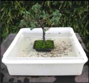 regar los bonsáis