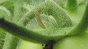 5 especies de orugas de la huerta