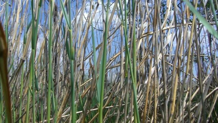 Plantas para mejorar la calidad de los ríos