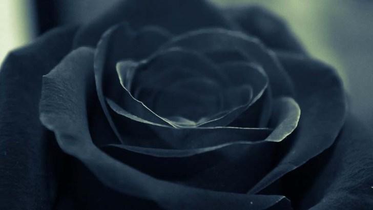 Características de las rosas negras
