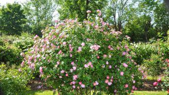 Rosa Eglanteria o Rosa Mosqueta