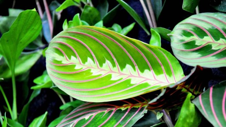 Plantas de interior: la maranta