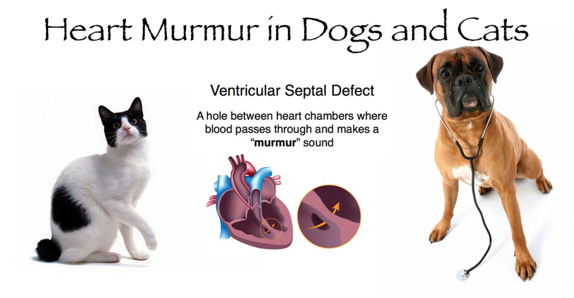 Heart Murmur in Dogs and Cats - Innocent and Pathologic