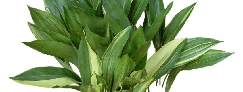 aspidistra-low-light-indoor-plants