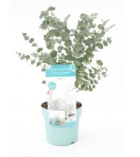 eucalyptus gunni azura plant kopen als binnenplant