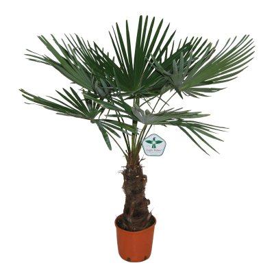 waaierpalm winterharde palm